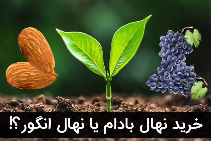 معرفی دو نهال پرسود خشکبار